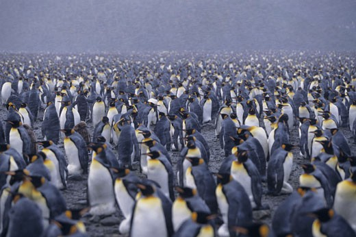 Stock Photo: 1491R-1020825 Colony of king penguins (Aptenodytes patagonicus), snowing