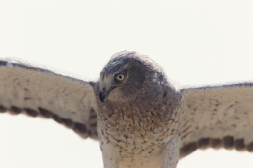 Stock Photo: 1491R-1020890 Male Northern harrier (Circus cyaneus) with wings spread, front view, North America, Eurasia