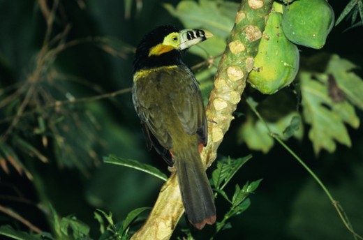 Spot-billed male toucanet (Slenidera maculirostris), Brazil : Stock Photo