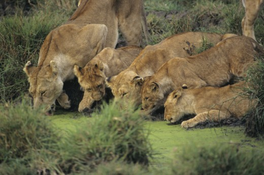 African lions (Panthera leo) smelling grass, Kenya, Africa : Stock Photo