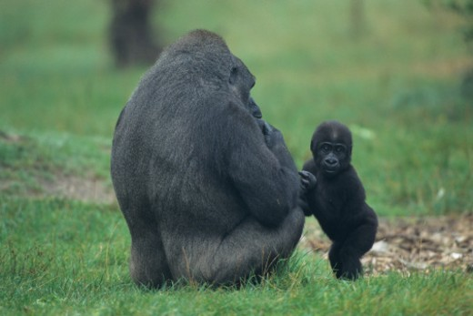 Stock Photo: 1491R-1021056 Western lowland gorilla (Gorilla gorilla gorilla) mother with baby