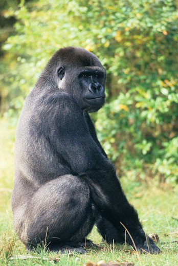 Western lowland gorilla (Gorilla gorilla gorilla) sitting : Stock Photo