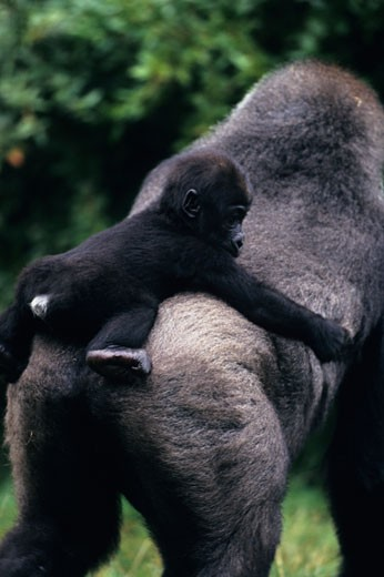 Stock Photo: 1491R-1021061 Western lowland gorilla (Gorilla gorilla gorilla) mother with baby