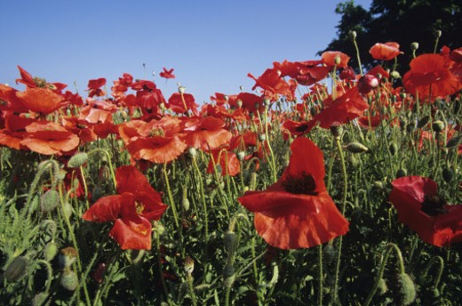 Flanders or red corn poppies (Papaver rhoeas), wildflowers : Stock Photo