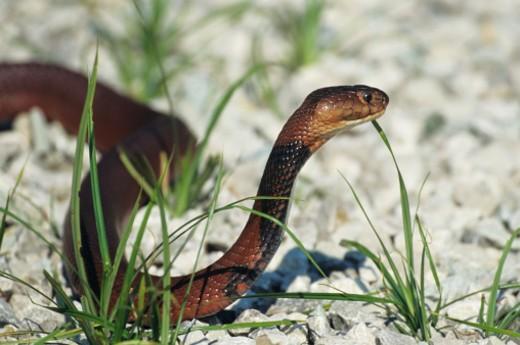 Red spitting cobra (Naja pallida) hooding, Egypt to Egypt : Stock Photo