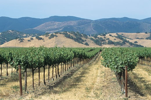 Spring vineyards with hills, late Spring : Stock Photo