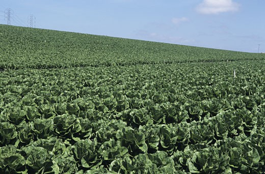 Romaine lettuce field with blue sky : Stock Photo