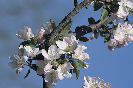 Apple orchard in bloom, close-up : Stock Photo