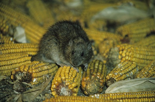 norway or house rat eating corn in granary stock photo 1491r 1022392 superstock. Black Bedroom Furniture Sets. Home Design Ideas