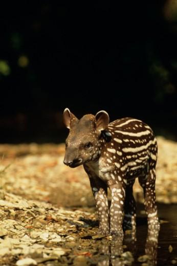 Stock Photo: 1491R-1022446 Young Brazilian tapir (Taprius terrestris) calf standing in river