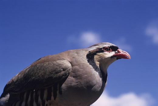 Chukar partridge, North American upland game bird : Stock Photo