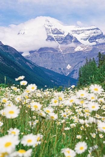 Stock Photo: 1491R-1034557 Scenic view of mountains and daisies