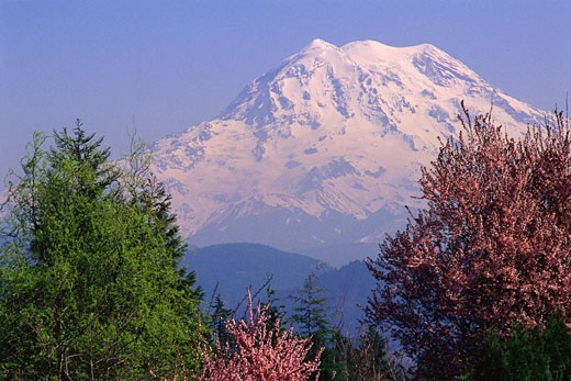 Cherry blossoms and Mount Rainier : Stock Photo