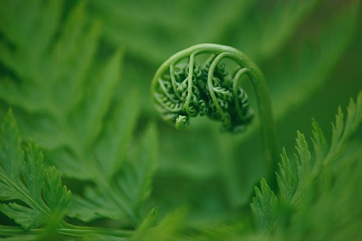 Stock Photo: 1491R-1045721 Fern bud
