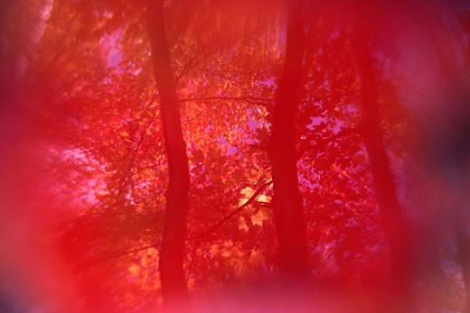 Stock Photo: 1491R-1045900 Red forest