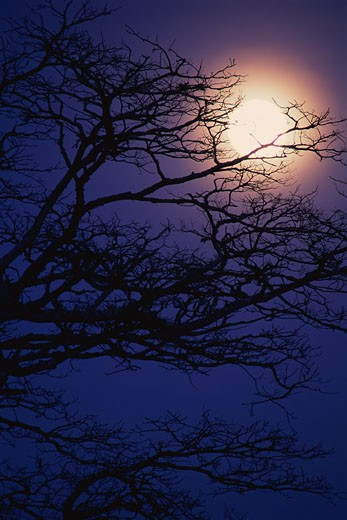 Acacia Tree and a Full Moon, Tanzania : Stock Photo