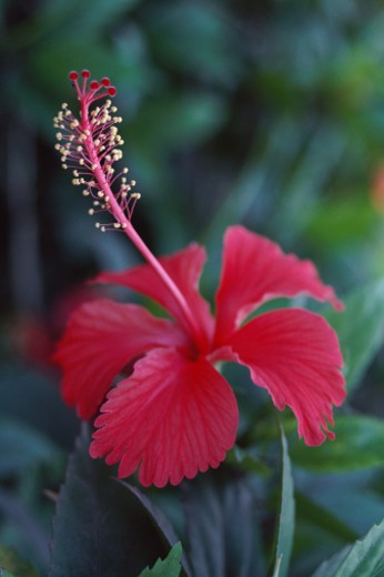 Single hibiscus bloom : Stock Photo