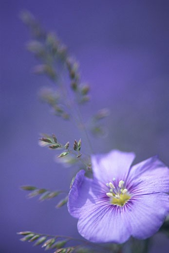 Stock Photo: 1491R-1060567 Close-up of sing violet