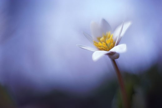 Single white lily : Stock Photo