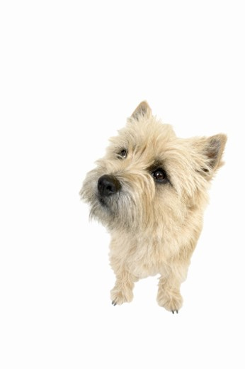 Stock Photo: 1491R-1066214 Close up of a terrier