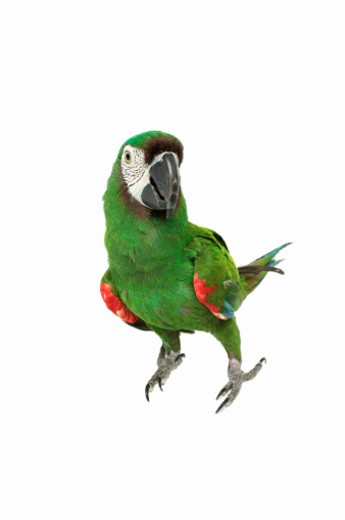 Stock Photo: 1491R-1068517 Portrait of a parrot