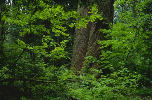 Stock Photo: 1491R-1077183 Old growth forest