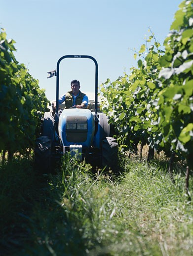 Young man driving tractor in vineyard : Stock Photo