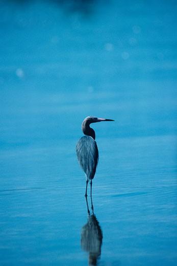 Stock Photo: 1491R-1084868 Reddish egret, North America