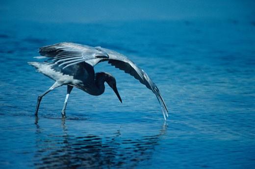Reddish egret canopy fishing, North America : Stock Photo