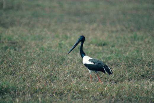 Stock Photo: 1491R-1085009 Black-necked stork, Africa