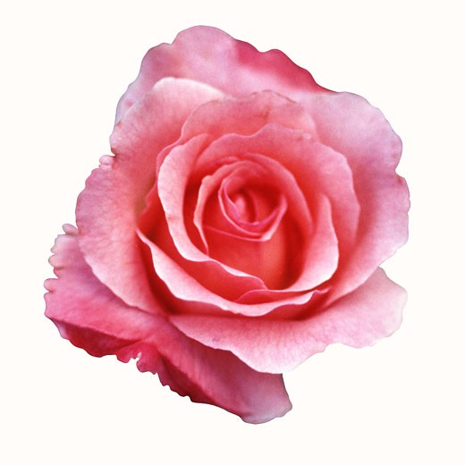 Stock Photo: 1491R-1138826 rose