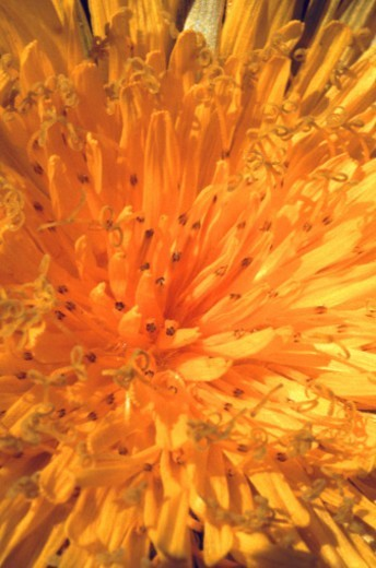 Stock Photo: 1491R-1141937 flower