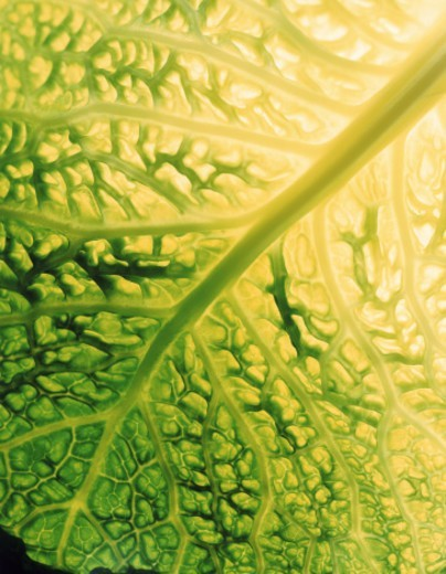 Stock Photo: 1491R-1151111 Cabbage leaf, full frame