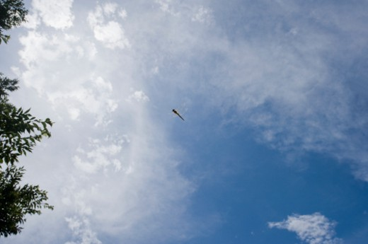 Stock Photo: 1491R-1159698 flying dragonfly