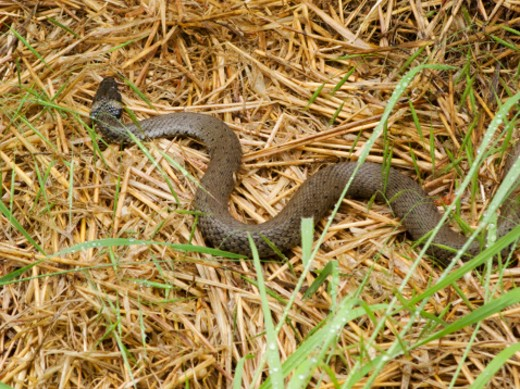 Stock Photo: 1491R-1161418 Grass snake in hay