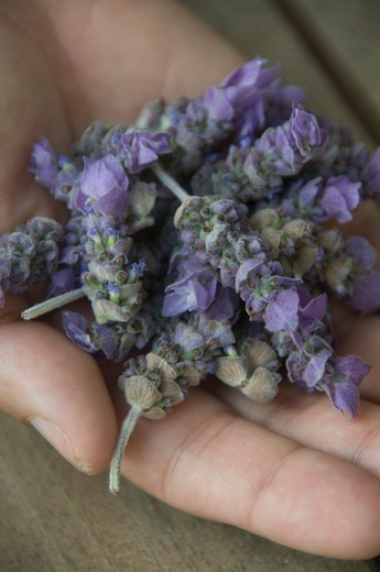 Stock Photo: 1491R-1162018 Man's hand holding lavender buds (Lavandula angustifolia)