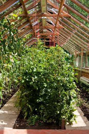 Stock Photo: 1491R-1166888 Tomato's growing in greenhouse