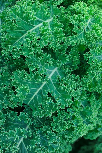 Curly kale growing on a vegetable plot : Stock Photo