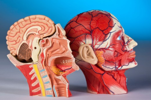 Model showing a cross section of the human head and brain. : Stock Photo