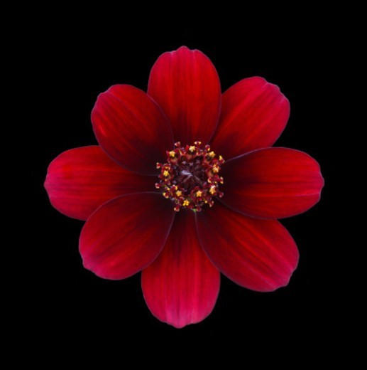 Stock Photo: 1491R-1201768 Close-up of chocolate cosmos flower from above on a black background. The chocolate cosmos flower has a strong chocolate aroma.