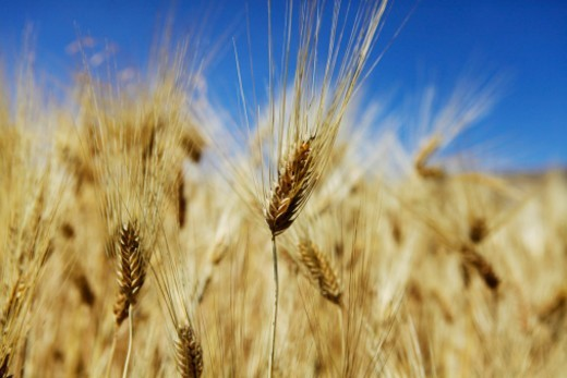 Stock Photo: 1491R-1202021 Wheat in Sacred Valley, Peru