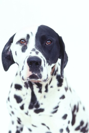 Stock Photo: 1491R-133090 portrait of a Dalmatian