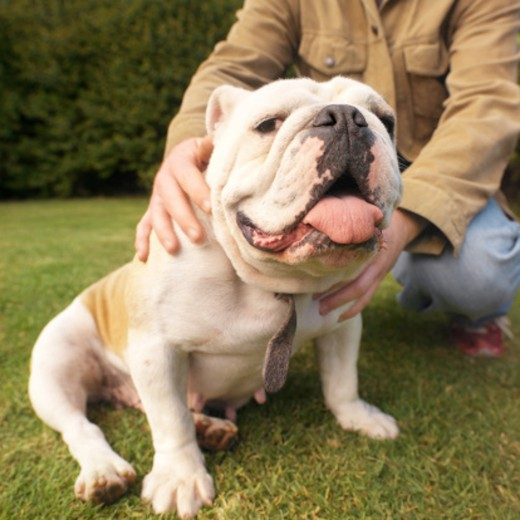 mid section view of a man outdoors with his bulldog : Stock Photo