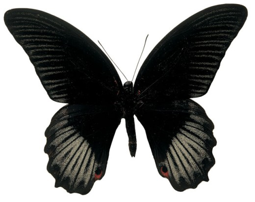 Close-up of a black butterfly : Stock Photo