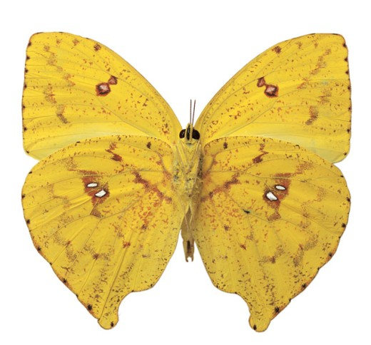 Stock Photo: 1491R-38050 Close-up of a yellow butterfly