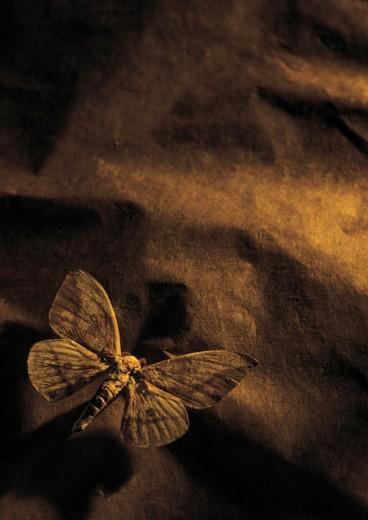 A moth (toned) : Stock Photo
