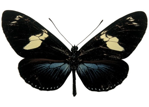 Stock Photo: 1491R-38131 Close-up of a black butterfly