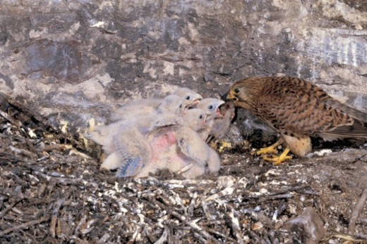 high angle view of a bird feeding its young in a nest : Stock Photo