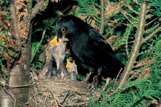 Stock Photo: 1491R-49055 black bird feeding its young