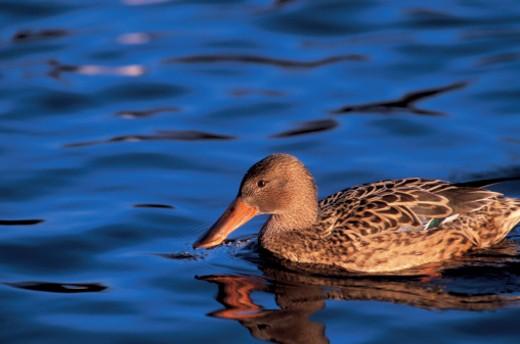 a broadbill duck : Stock Photo